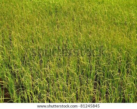 Rice lacks nutrients. #81245845