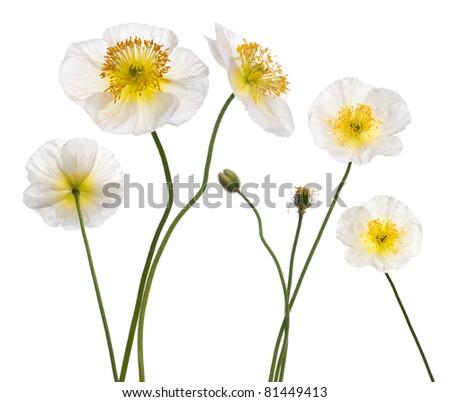 White Alpine poppy, Papaver alpinum, in front of white background #81449413