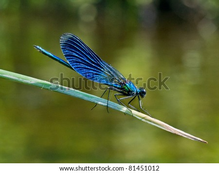 Dark blue dragonfly. Macro picture.