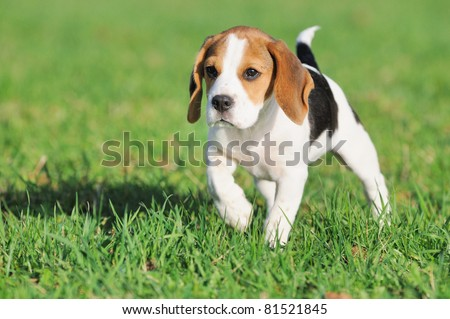 cute Beagle puppy 3 months observed  the mouse #81521845