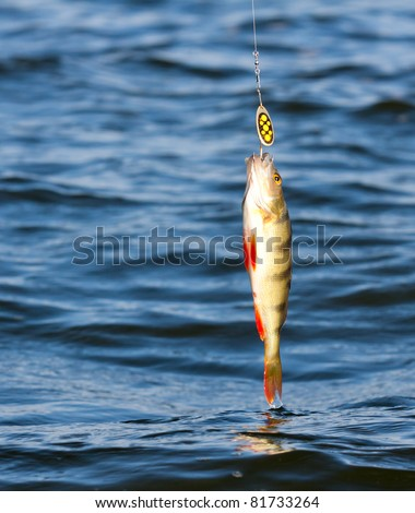 Northern perch on hook in water #81733264