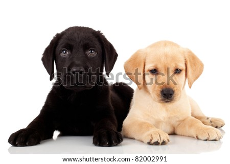 two cute labrador puppies - both very curious and looking at the camera #82002991
