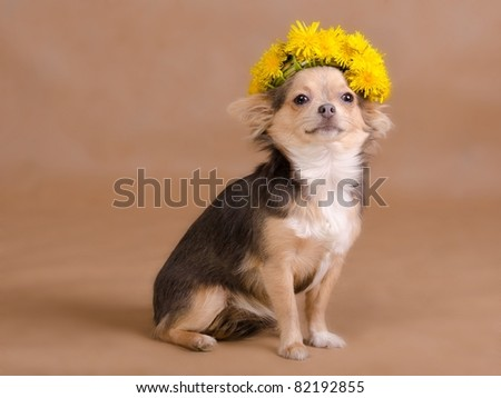 Portrait of a chihuahua puppy wearing wreath of dandelions, studio shot #82192855