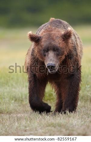 Brown bear walking. Katmai, Alaska #82559167