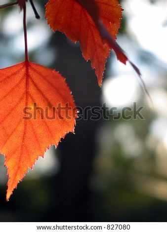 Closeup on a red autumn leaf with open space for text #827080