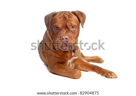 French mastiff in front of a white background #82904875