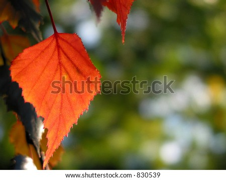 Closeup on isolated red autumn leaf with open space for text #830539