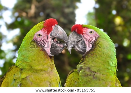 The Great Green Macaw, Ara ambiguus, also known as Buffon's Macaw or the Great Military Macaw #83163955