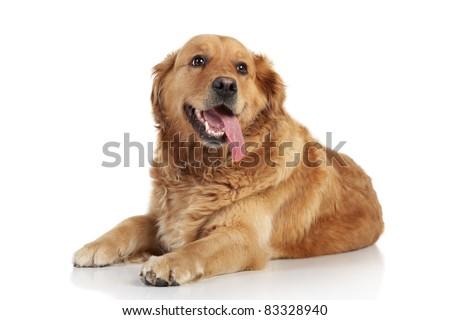 Golden Retriever lying on a white background #83328940