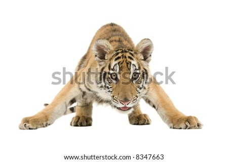 Crouching Bengal Tiger isolated on a white background. #8347663