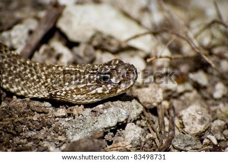 Uracoan Rattlesnake #83498731