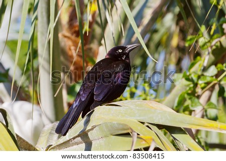 Common Grackle, Quiscalus quiscula, wild #83508415