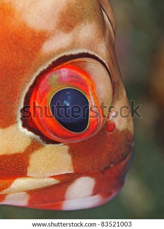 Black tip grouper eye (Epinephelus fasciatus)