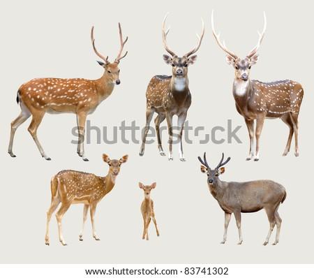 sika deer, axis deer, samba deer isolated on gray background