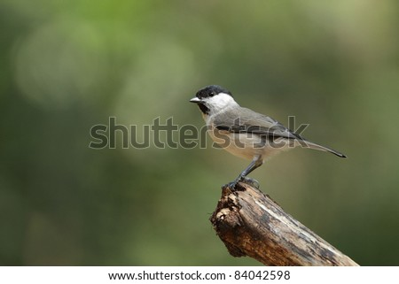 Marsh Tit on a piece of wood, ( Poecile palustris ) #84042598