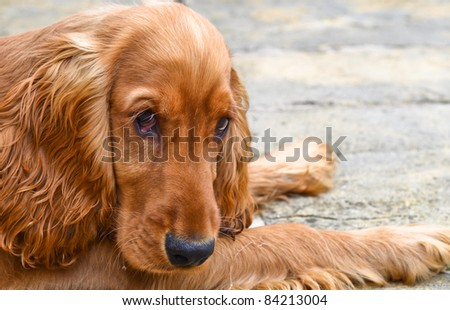 Sad looking cocker spaniel puppy #84213004