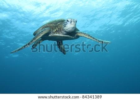 Hawaiian Green Sea Turtle #84341389