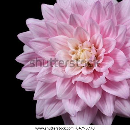 beautiful close-up of  pink dahlia isolated on black
