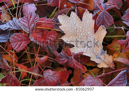 Frost on leaves in misty autumn dawn Royalty-Free Stock Photo #85062907