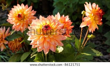 a couple of beautiful dahlia flowers autumn flowers #86121751