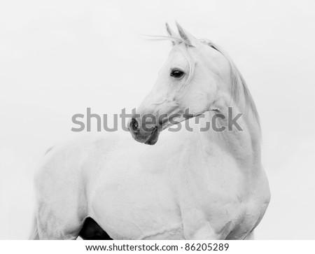 arab horse in high key #86205289