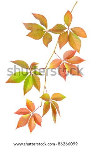 Branch with leaves isolated on white background #86266099