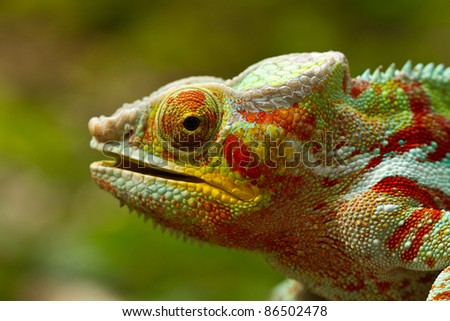 Panther Chameleon #86502478