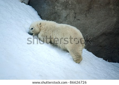 Little Polar Bear on background of snow at zoo, Russia.