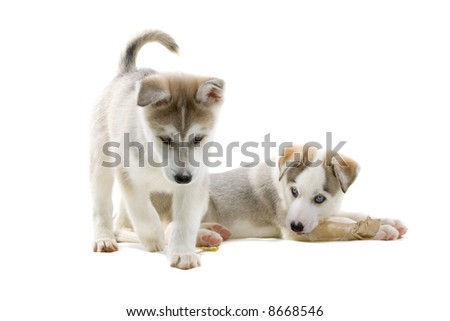 Siberian husky puppy dog isolated on a white background #8668546