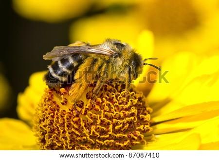 bumblebee on flower #87087410