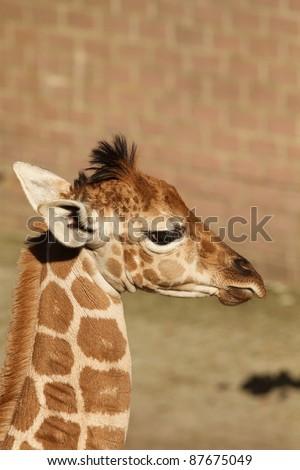 Baby giraffe #87675049