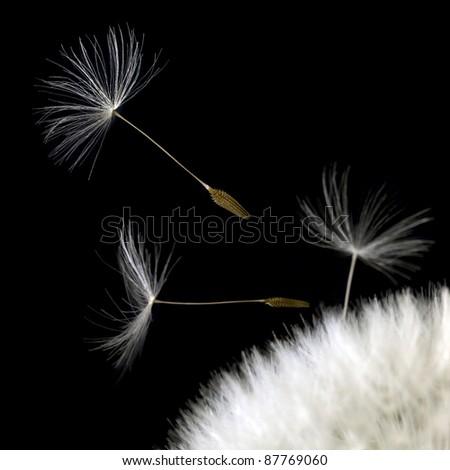 some dandelion seeds in black back