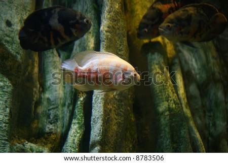 scuba piranha