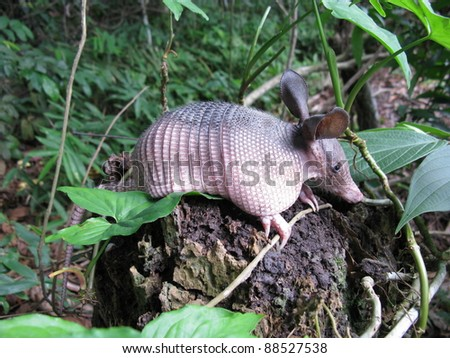 Armadillos are New World placental mammals, known for having a leathery armor shell.