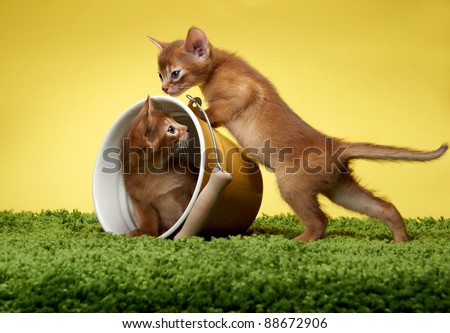 Abyssinian kittens. Age - 1 month Royalty-Free Stock Photo #88672906