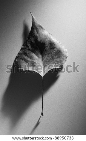 Abstract autumn composition with an old leaf with an elegant shadow in a minimalism style. Black and white photo. #88950733