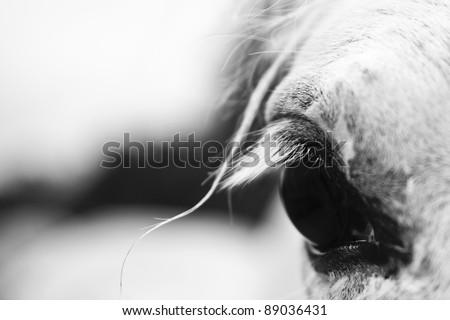 Detail of a white horse'e eye