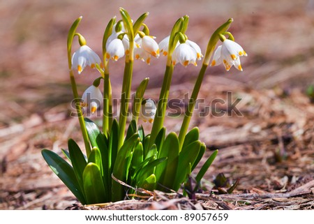 The close up view of the lilly of the valley flowers, surrounded by old leaves #89057659