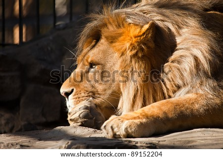 big pensive lion side portrait #89152204