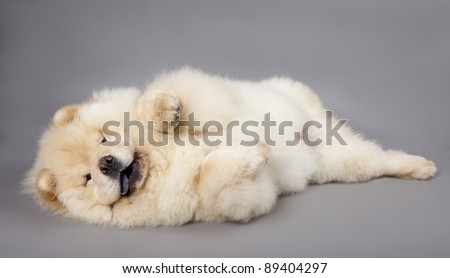 Chow chow (5 months) in front ofa grey background #89404297