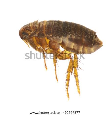 Ctenocephalides felis, cat flea or flea, isolated on a white background
