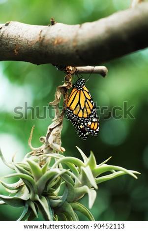 Monarch butterfly resting on branch #90452113