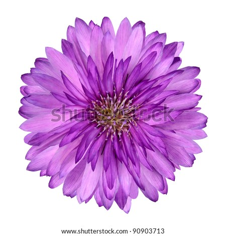 Cornflower like Pink and Purple Flower Isolated on White Background #90903713