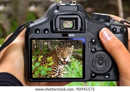 DSLR  camera in hand shooting jaguar in wildlife (my photo)