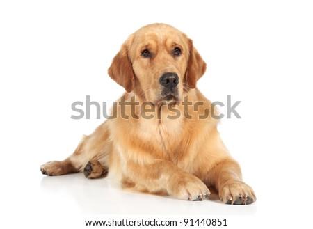 Golden Retriever dog lying on the white floor #91440851