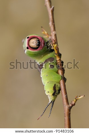 Catterpillar of the Cerura vinula Butterfly looking striaght into the camera #91483106