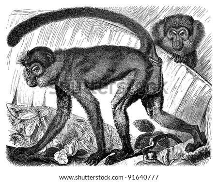 Monkey (Cercopithecus Fuliginosus) - Vintage illustration from Meyers Konversations-Lexikon 1897