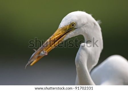 Great Egret (Ardea alba egretta), American subspecies, eating a small fish at the Marine Nature Study Area in Oceanside, New York. #91702331