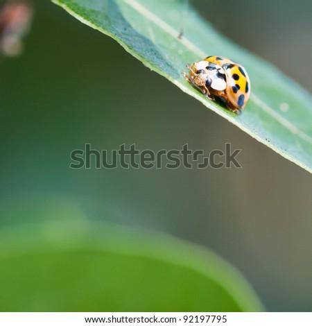 A ladybird sitting on a bay leaf. #92197795