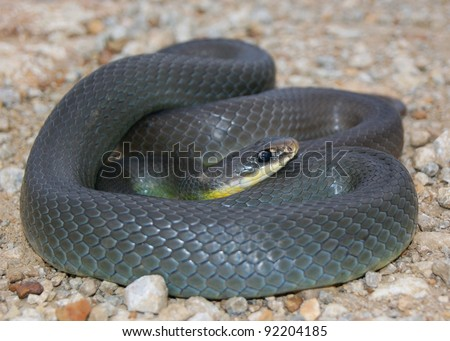 Close up of a wild coiled snake - Eastern Yellow-bellied Racer, Coluber constrictor flaviventris #92204185
